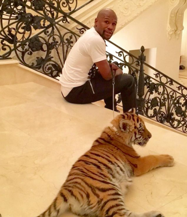 Floyd Mayweather does a Mike Tyson after receiving a pet tiger for early Christmas gift